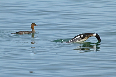 A female and male Red-breasted Merganser about to dive.