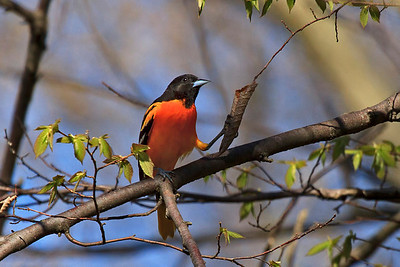 A male Baltimore Oriole