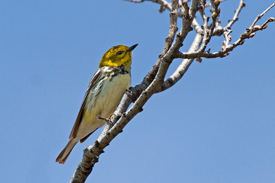 female Black-throated Green Warbler
