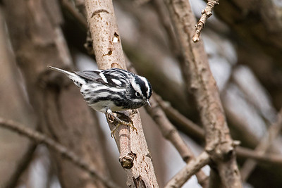 Black-and-white Warbler - male