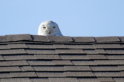 Snowy owl that was spotted on a roof of a home on Vanderbilt Crescent, Windsor Ontario Images were captured on April 23, 2012