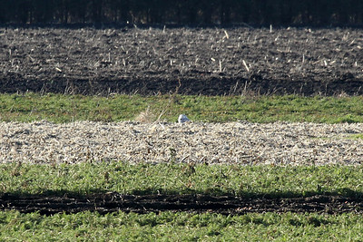 Snowy owl viewed a little closer, it's patiently sitting in a field looking for mice