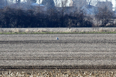 A second snowy owl found east of Leamington Image captured at a distance of about two miles.