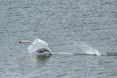 A swan coming in for a landing or splash-down.