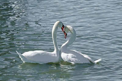 These two swans are madly in love!