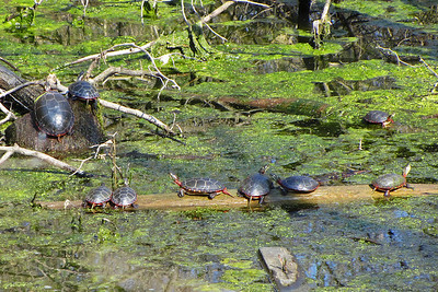 "Many ""painted turtles"" enjoying the warm spring sunshine."