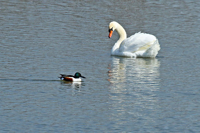 "A mute swan and a ""northern shoveler"" duck pass each other by."