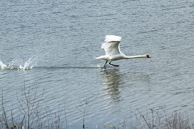 A mute swan on take-off run to get airborne.