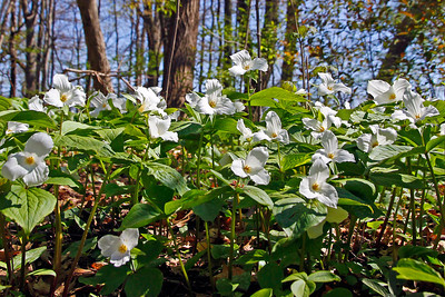 White trilliums blooming in the Spring forest.