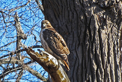 "A ""red-tailed hawk"" keeping a watchful lookout."