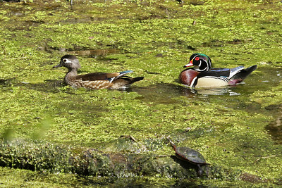 Here's the mating pair of wood ducks swimming along together.