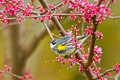 A new migrant from the south, a yellow-rumped warbler