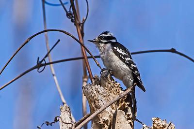A female Downy woodpecker