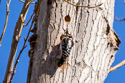 A male hairy woodpecker