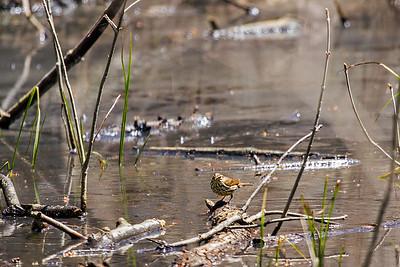 A Northern Waterthrush
