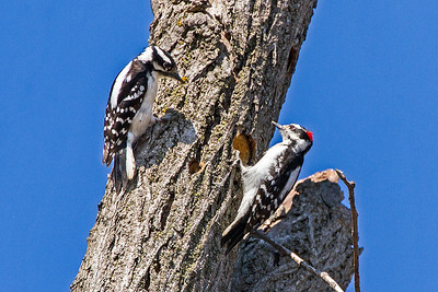 Female and male Downy woodpeckers