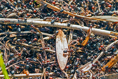 Thousands of ants emerging from winter slumber