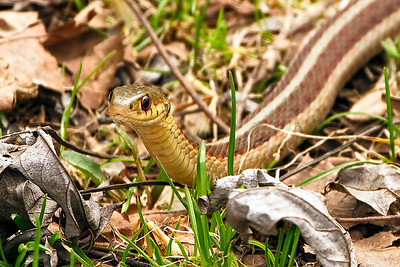 A male common gater snake