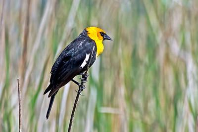 Yellow-headed Blackbird, Lake St. Clair marsh