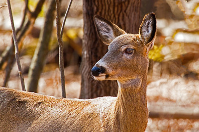 A female white-tailed deer