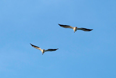 American White Pellicans flying over Point Pelee