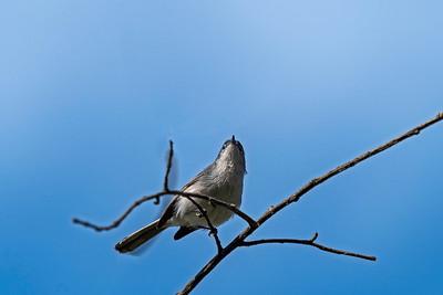 Gray-blue Gnatcatcher