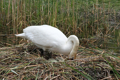 Swan checking and turning her four eggs