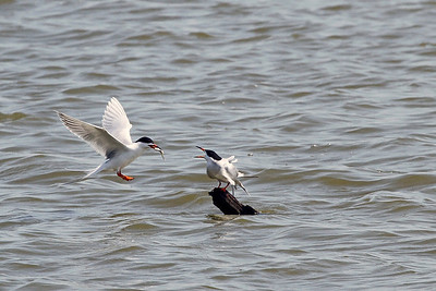 A mother tern feeding her baby