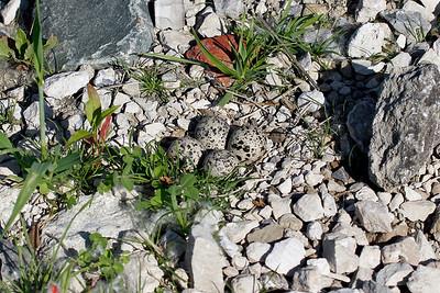 A killdeer's nest with four eggs on stony ground