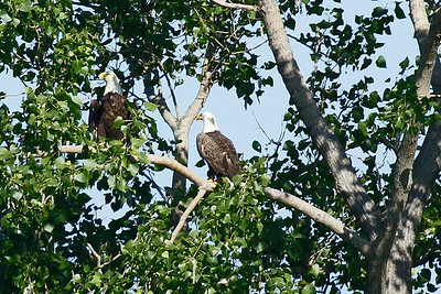 Pair of bald eagles in tree near Lake St. Clair.