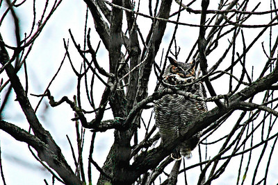 Mother owl in a nearby tree