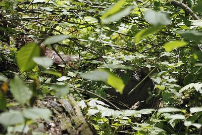 Wild turkey sitting on her nest that's well hidden on the forest floor
