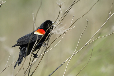 A male red-winged blackbird singing his heart out