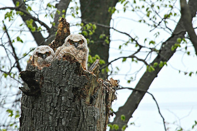 Two baby great-horned owls nesting in tree stump