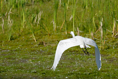 A great white egret in flight