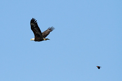 Eagle in persuit by a red-winged blackbird