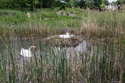 Swans nesting in Ganatchio Trail pond