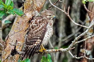 A Broad-winged Hawk