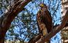 Golden Eagle in Phoenix, AZ