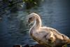 Baby Black Swan  - Lafreniere Park Bird Sanctuary, Metairie, LA.
