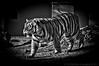 """Mike"" the LSU Tiger mascot in his campus habitat."