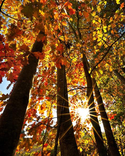 Autumn maples and sunstar, Oregon