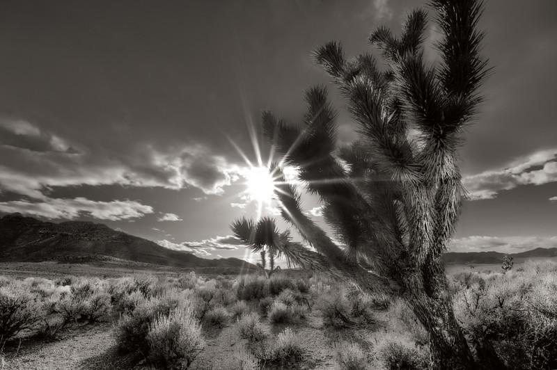 Joshua tree and sunstar, black and white duotone, extra terestrial highway, Nevada.