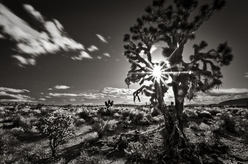 Joshua Tree and Sunstar, Nevada. B+W Duotone.