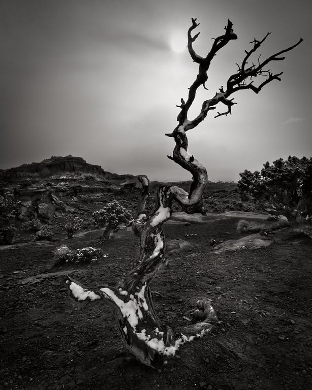 The Serpent Tree. Weathered Juniper, Capitol Reef, N.P. Utah.