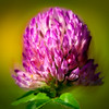 Wild Clover<br /> © Douglas Remington - Ethereal Light Photography, LLC. All Rights Reserved. Do not copy or download.