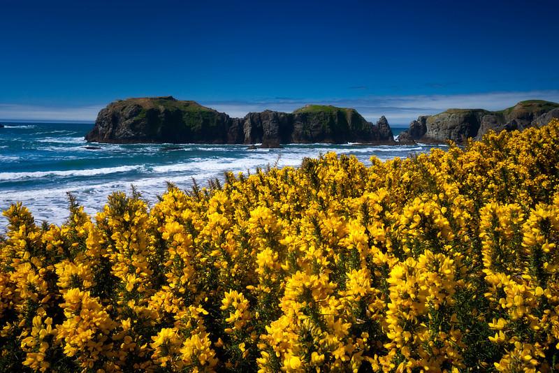 Wildflowers, Oregon coast.