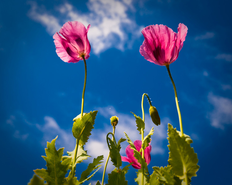 Poppies in the summer sun<br /> © Douglas Remington - Ethereal Light® Photography, LLC. All Rights Reserved. Do not copy or download.