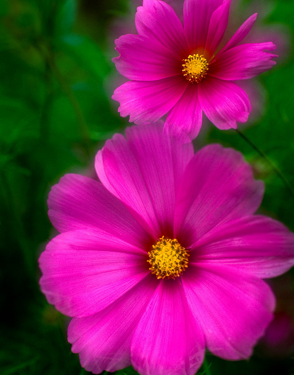 cosmos flowers<br /> © Douglas Remington - Ethereal Light Photography, LLC. All Rights Reserved. Do not copy or download.