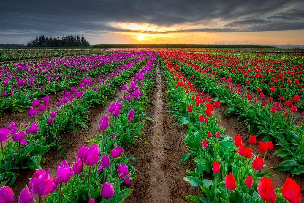 Sunrise in the tulip fields, Wooden Shoe, Oregon<br /> © Douglas Remington - Ethereal Light Photography, LLC. All Rights Reserved. Do not copy or download.